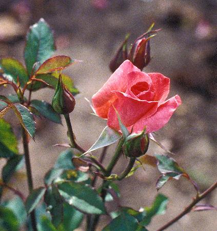 Rosa Charles Dickens